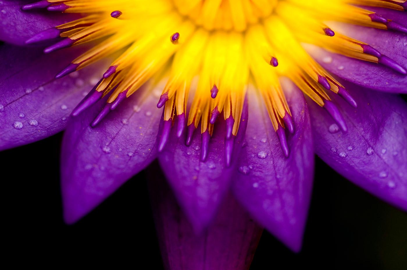 Gedeelte van een lotusbloem, met een geel hart en paarse bloembladeren, tegen een bijna zwarte achtergrond. Door de uitsnede lijkt de bloem een beetje op een opkomende zon.